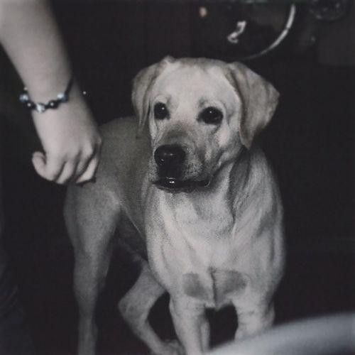 Річі собака пес пес лабрадор дома sweethome home