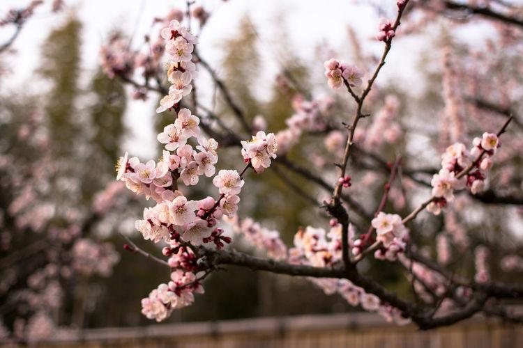 Plum Blossom Tree In Garden