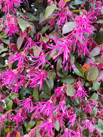 High angle view of pink flowering plant leaves