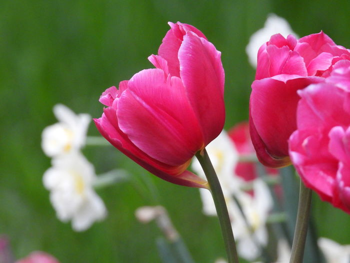 pink tulips and
