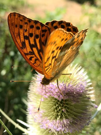 Kaisermantel Kaisermantel Argynnis Paphia Flower Flowering Plant Insect Fragility Invertebrate Vulnerability  Beauty In Nature Butterfly - Insect Close-up Focus On Foreground Animals In The Wild
