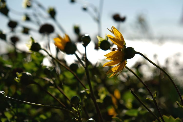 Windswept. Day Flower Head Flower Nature Plant Fragility Petal Focus On Foreground Blurred Background Depth Of Field Focus On Subject Nature Beauty In Nature Outdoors Sky Photography