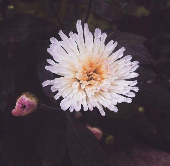 Nature Photography IPhoneography Photography Taking Photos Photo Walk Flowers Mari Gold Plants 🌱 Garden MyClick