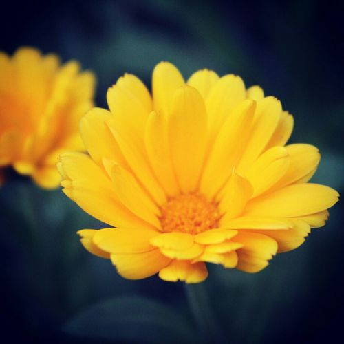 Flower Defocus Backgrounddefocus Black&Yellow Dark