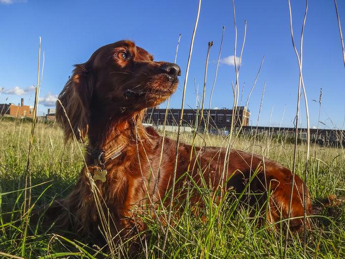 Freya enjoying the evening sunshine. Freya Golden Hour #dogs Dogs Of EyeEm Domestic Animals Redsetter Irishsetter Autumn Sunshine Evening Pets Dog Sitting Sky Grass Close-up