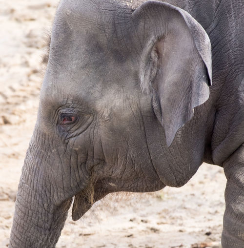 Animal Themes Close-up Day Elephant Focus On Foreground Mammal Nature No People One Animal Outdoors Safari Animals Side View Young Elephant