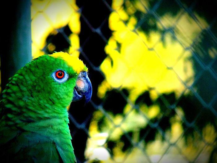 Cotorra o loro real de amazonas (COLOMBIA) Animal Themes Animals Pajaros Cotorra Loro Verde Pajaro Volar Colombia ♥  Animal Wildlife One Animal Nature Green Color