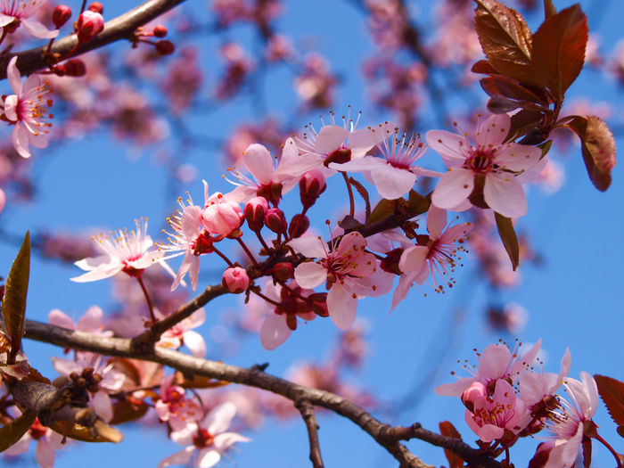 Beautiful blooming plum tree close up. Sky in the background. Beauteous Beautiful Bright Gardening Wonderful Beauty In Nature Bloom Blossom Blue Sky Branch Closeup Colorful Cute Decorative Floral Flower Fragility Fresh Fruit Outdoors Petal Pink Color Plant Plum Tree Springtime EyeEmNewHere Visual Creativity