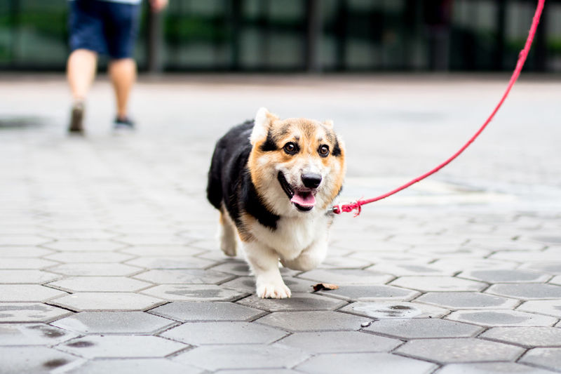 Close-Up Of Dog With Pet Leash Walking On Street