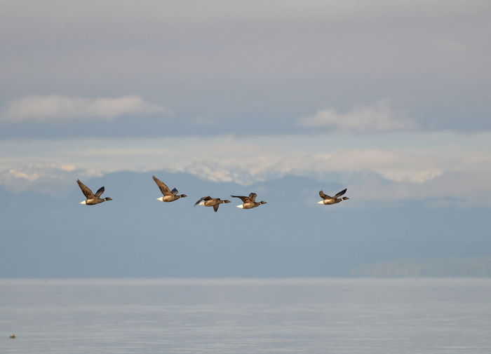 Geese flying over sea against sky