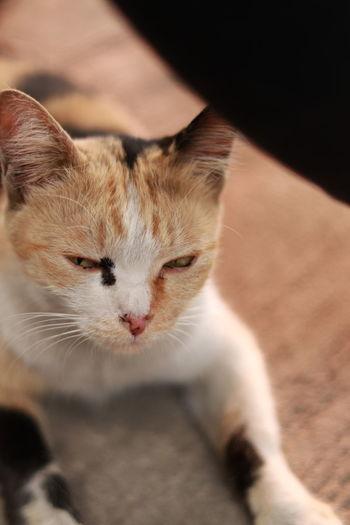 Thai cat Mammal