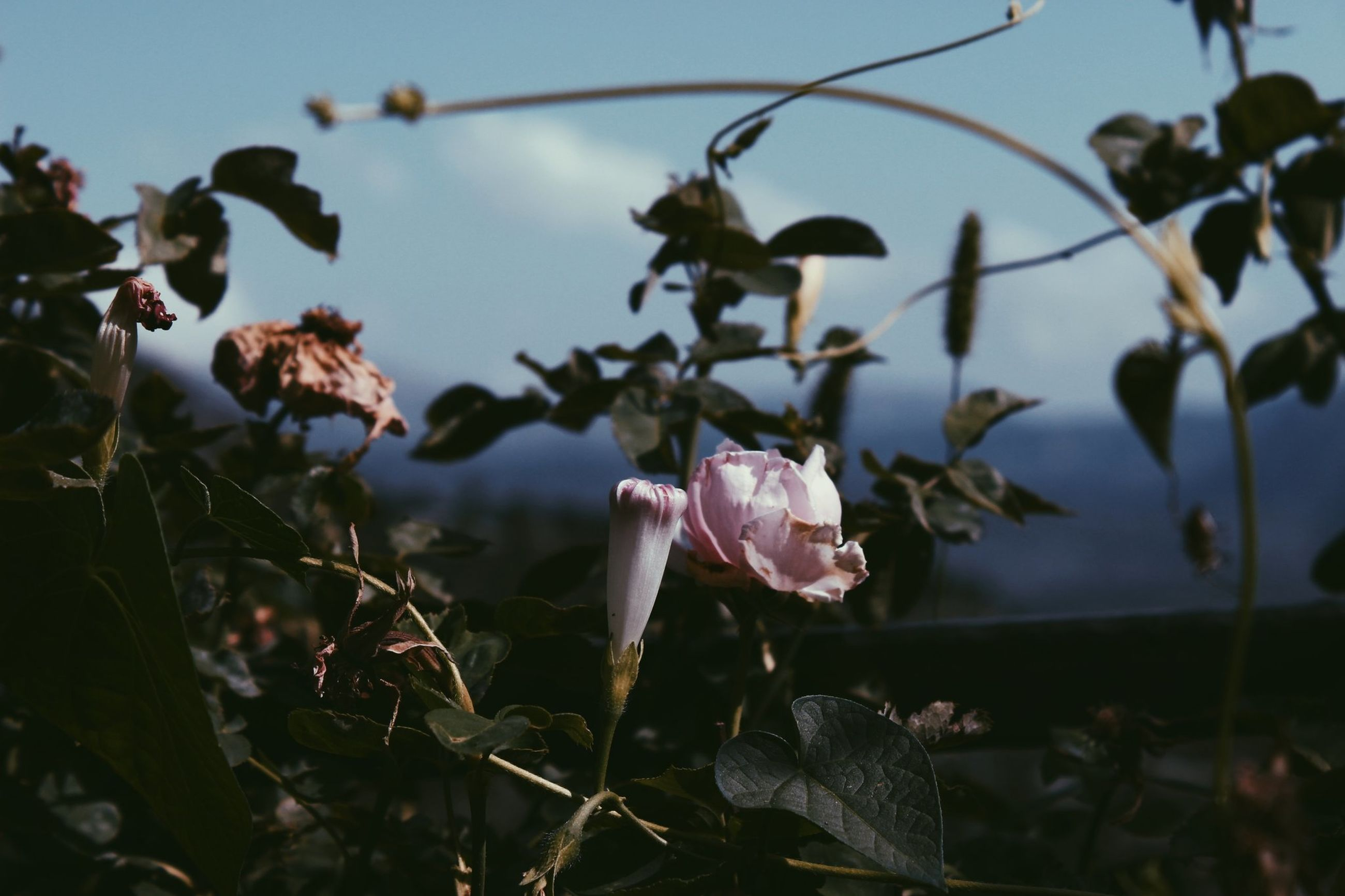 plant, flower, growth, beauty in nature, flowering plant, freshness, petal, close-up, vulnerability, fragility, no people, nature, focus on foreground, pink color, flower head, inflorescence, day, land, outdoors, leaf