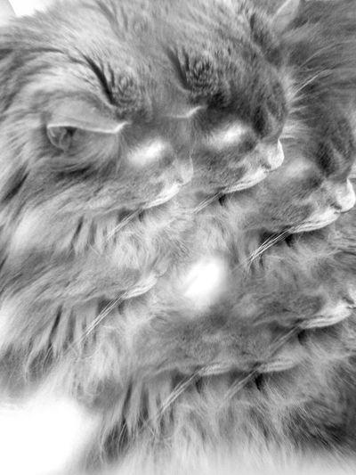 GgiGgio the Ccat B&w Photography B&W Portrait Cat Lovers Cats Of EyeEm Cat♡ Feline Fluffy Love Furry Friends Furry Love Looking Away Multiple Image MUR B&W Break The Mold Art Is Everywhere Cut And Paste