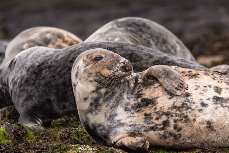 Happy Doggo Seal Rocks Seal Colony Travel Photography Marine Life Grey Seal Sea Life Northumberland Farne Islands Wildlife Photography Nature Photography Animal Animal Themes Animal Wildlife Animals In The Wild Mammal No People Vertebrate Seal One Animal Seal - Animal Aquatic Mammal Nature
