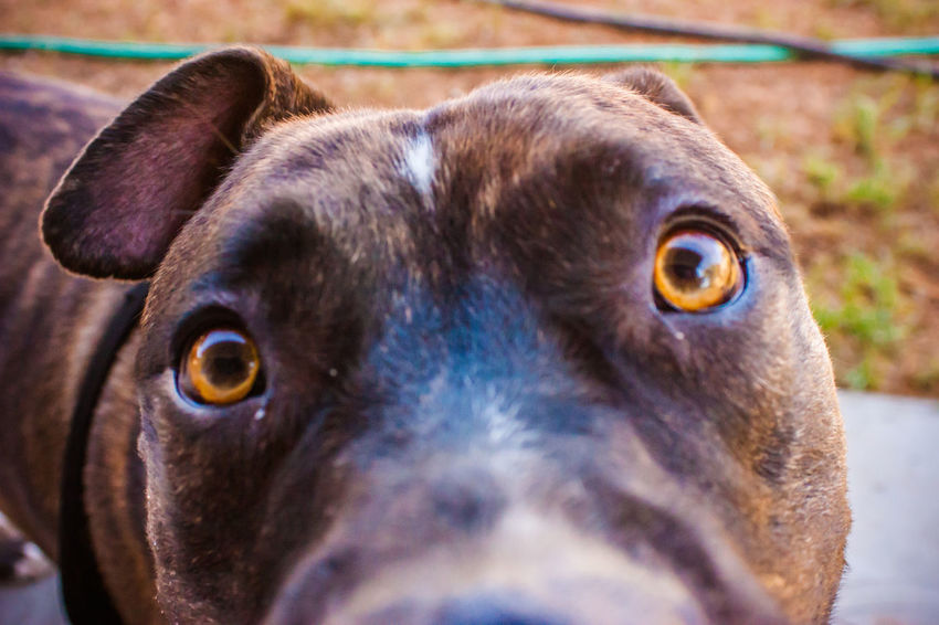 Animal Eye Animal Nose Close-up Curiosity Dog Dog Love DogLove Doglover Dogoftheday Dogs Dogs Of EyeEm Dogs Playing  Dogs Playing Together Dogslife Dogstagram Dog❤ Domestic Animals Extreme Close Up Looking At Camera One Animal Outdoor Playtime Pets Pitbull Playing Outside Snout