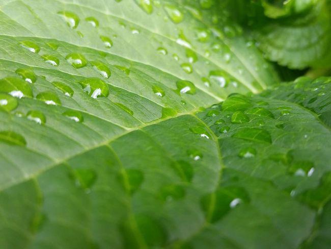 Green Hydrangea Leaf Leaves Nature Outdoors Plant Plants Rain Wet Plants