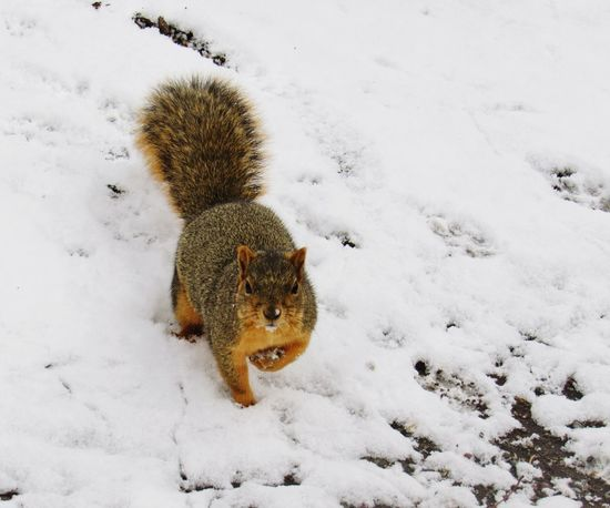 I am so ready for this winter!!! Squirrel Cuteanimals EyeEmNewHere Animal Animals In The Wild Snow One Animal Outdoors Winter Nature
