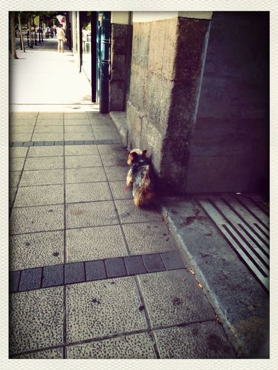 Romeo A Dogs Life Shoot The Street With Pointer Footwear