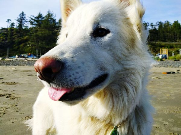 Rowan Beach One Animal Mammal Dog Domestic Animals Pets Close-up Outdoors Nature Day No People Sky Husky Border Collie Furbaby Dogslife Nature Tranquility Oregon Scenics Oregon Coast Beauty In Nature