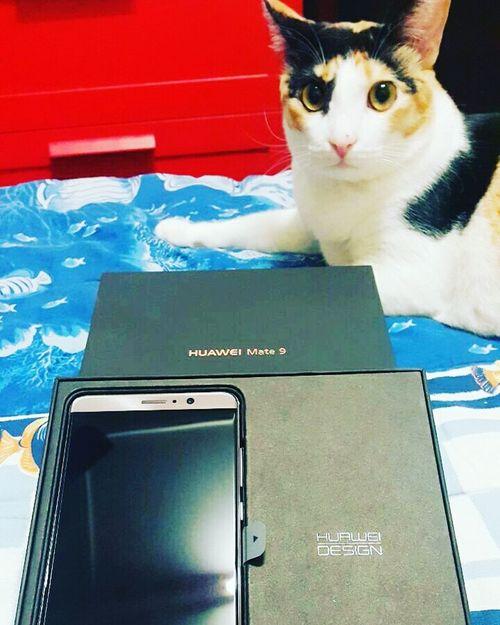 Hei dare to take this phone?? Cats Of EyeEm Cat Watching catstar #cat #catnap #catoftheday #catpic #catlovers #catsconnect #catinstagram #catsofinstagram #gato #gatinhos #gatto #garfield #petstagram #premierpet #photooftheday #petsofinstagram #picoftheday #petlovers #instabicho #ilovecats ilovemypet issovici