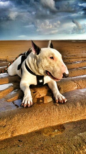 My Kaos loves walks at the beach!! ilovemydog i love my MY DOG . . Mydog Bullterrier Pet Kaos