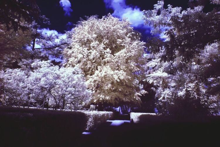 Infrared Infrarosso Trees White Nature