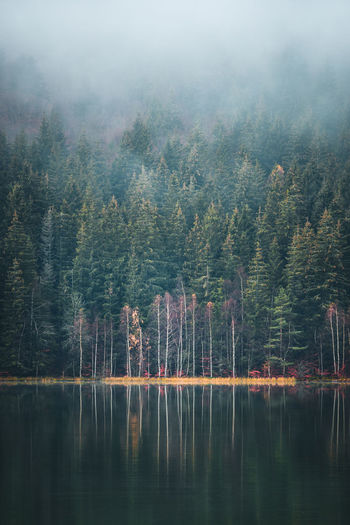 Tree Plant Water Beauty In Nature Lake Tranquility Tranquil Scene Reflection Scenics - Nature Day Nature Forest Waterfront Growth Fog No People Non-urban Scene Land Outdoors Coniferous Tree Green Reflection Foggy Forrest Moody