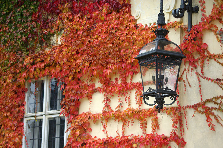 Red Autumn Building Exterior Covered Wall Ivy Lamp Leaves Wall Light