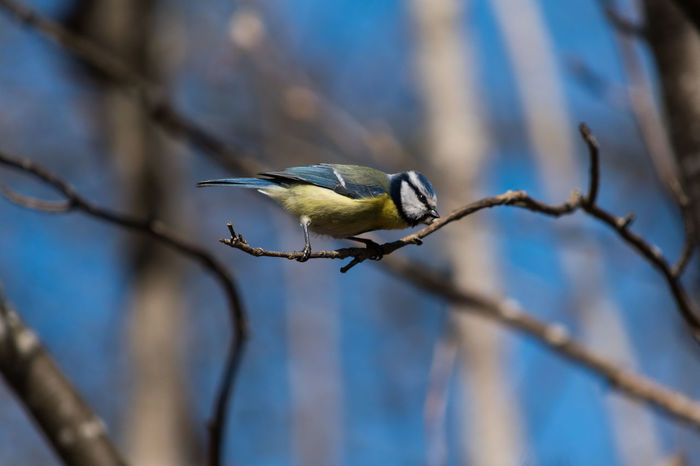 Animal Wildlife Animals In The Wild Animals In The Wild Bird Bird Photography Birds Birds_collection Birds🐦⛅ Blåmes Day Nature Outdoors Wildlife Wildlife & Nature Wildlife Photography Wildlifephotography