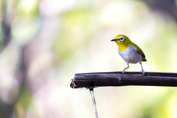 Bird (Swinhoe's