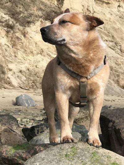 australian cattle dog Domestic Domestic Animals Animal Themes Mammal Vertebrate Animal Australian Cattle Dog Cattle Dog Sheep Dog Cute Cute Pets