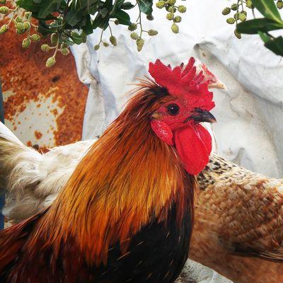 Cockerel Birds Farm Life Nature Bahrain. SAMSUNG GALAXY S4 ZOOM