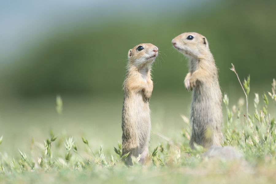 Eating European  FUNNY ANIMALS Grass Green Color Nature Spermophilus Citellus Squirrel Alert Animal Themes Close-up Curious Cute Environment Fauna Fields Furry Herbivorous Juvenile Little Mammal Meadow Prairie Rodent Wildlife