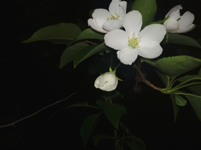 Plant Flower Flowering Plant Freshness Black Background Beauty In Nature Close-up No People Nature Leaf Flower Head Plant Part Indoors  Studio Shot Green Color Food And Drink Night White Color Inflorescence