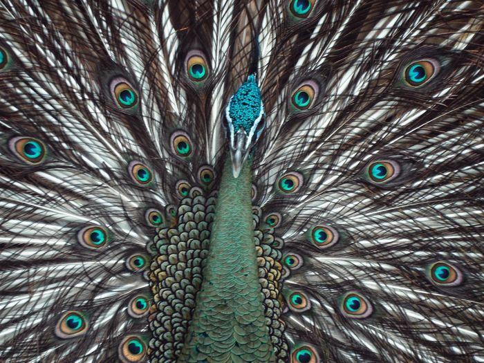 Peacock Peacock Feather Animal Themes No People One Animal Animalphotography