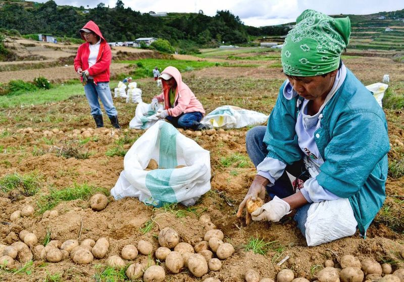 Local farmers in Atok, Benguet harvest their potatoes after two and a half months of planting them. Land conversion of mountains into vegtable plantation is now a problem in the Cordillera region. It caused soil erosion, degredation of soil minerals and destruction of wildlife habitat.