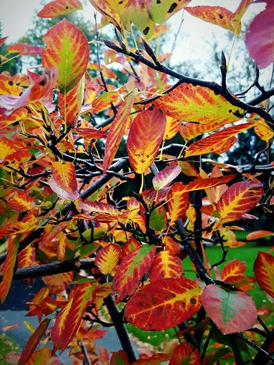 This Is Autumn day 13. Colourful Bush Leaf Autumn Change Close-up Beauty In Nature Leaves Busy Autumn Colours