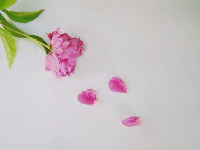 Его любит Запад, Россия, Восток. Достоин похвал этот чудный цветок. Он пышен, красив, ароматен и ярок. Для чуткого сердца - прекрасный подарок! пион Flowers Nature Peony