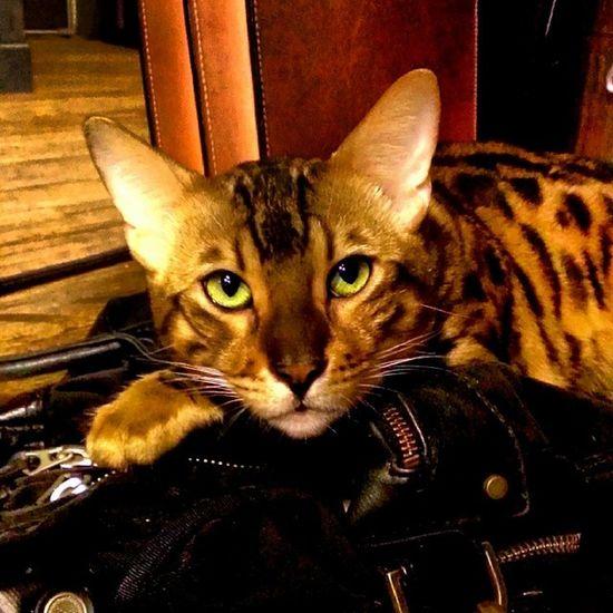 Goodnite Taipei Homesweethome Bigkitty bengalkitty bengalcats bengallove cat bengalcat