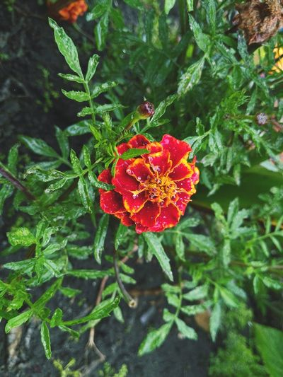 Flower Plant Green Color Growth Nature Red Fragility Beauty In Nature Day Outdoors Leaf Focus On Foreground Close-up No People Freshness Flower Head Dias De Lluvia Multi Colored