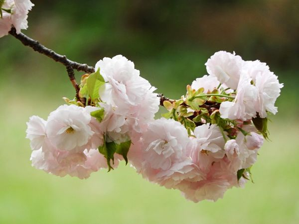 Sakura 2018 Flower Flowering Plant Plant Vulnerability  Fragility Beauty In Nature Freshness Blossom No People Close-up
