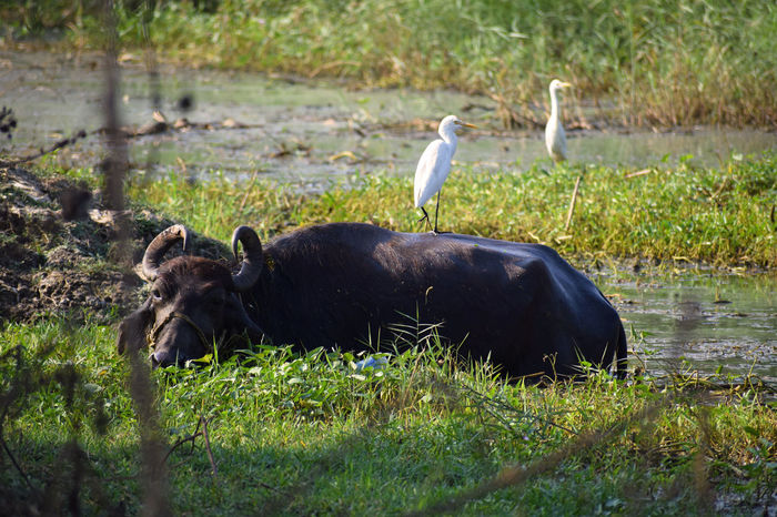 Buffalo Animal Photography Domestic Animals Bird Photography Animal Wildlife Animals In The Wild Bird Grass No People Outdoors Animal Themes EyeEmNewHere