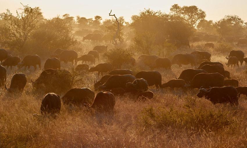 Buffalo Buffalos Buffalos Dust Grass Heat Her Outdoors South Southern Africa Sunset Water Wild Wildlife Wildlife & Nature Wildlife Photography