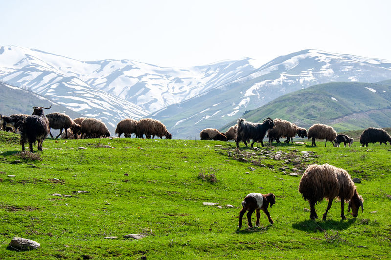 Agriculture Anatolia Animal ASIA Cattle Domestic Animals Farm Field Food Grass Grazing Green Color Hay Horizontal Land Landscape Mammal Mountain National Grassland Nature No People Outdoors Pasture Photography Plain Plateau Rural Scene Sheep Straw Summer Turkey - Middle East Valley Wool