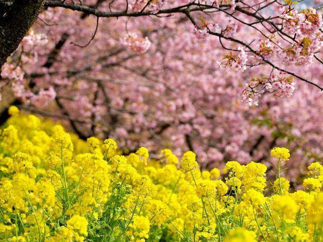 桜と菜の花Flower Sakura Nanohana Flowers Japan Festival Spring Natural Photo Spring Flowers