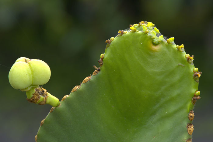Single cactus fruit Cactus Cactus Leaf Close Up Focus On Foreground Fruit Nature No People Outdoors Plant Red Fruits Sharpness In The Foreground