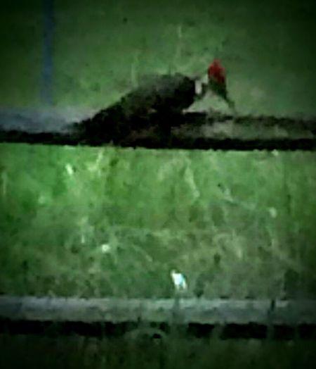 Wood Pecker Fence Bird Photography Birds Wood Birds On A Fence