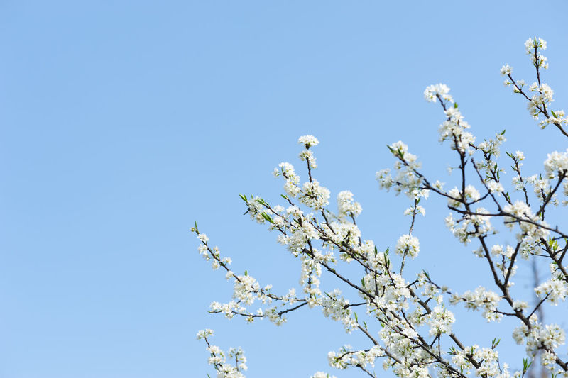 pear flower in springtime Plant Low Angle View Sky Flower Tree Flowering Plant Growth Clear Sky Branch Beauty In Nature Nature Fragility Freshness Day No People Blossom Blue Springtime White Color Vulnerability  Outdoors Cherry Blossom Cherry Tree Spring Spring Flowers Pear Flowers Pear Blossoms Blue Sky