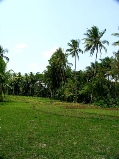 GOMBONG Kampung Bestoftheday INDONESIA Agrarculture Gombong Culture And Tradition Agra Tree Green Color Grass Nature Growth Outdoors No People Beauty In Nature Palm Tree Day