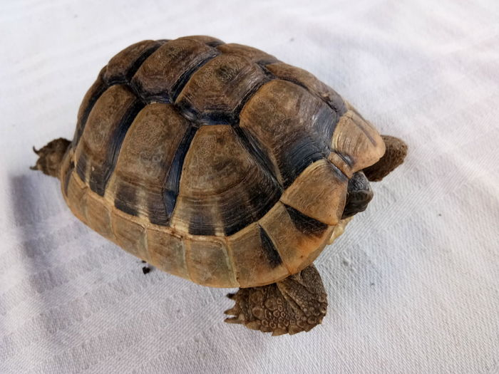 High angle view of tortoise on table